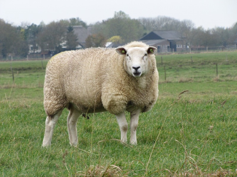 Sheep Breeds St - U; St. Croix (Virgin Island White) The St. Croix is a hair sheep that originated in the Virgin Islands, where it is called the